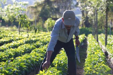 مزرعه قهوه ارگانیک